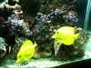 75 reef / Pair of Yellow Tangs in harmony